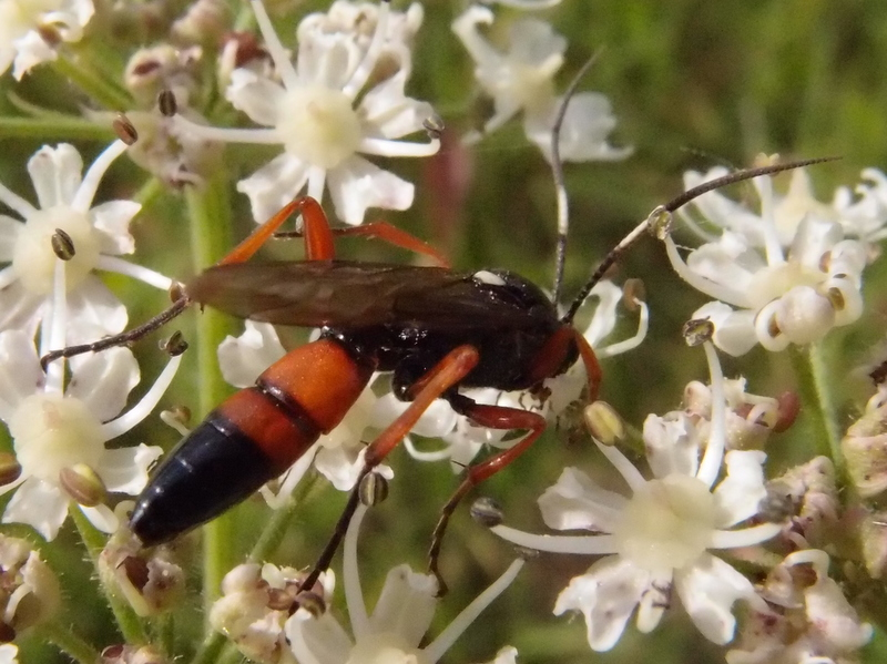 Ctenichneumon F inspector (WESMAEL,1845) J.Cuppens photo, J.Valemberg dt