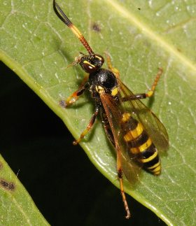 Ichneumon F xanthorius FORSTER, 1771                           Ph.Moniotte photo, C.Thirion dt