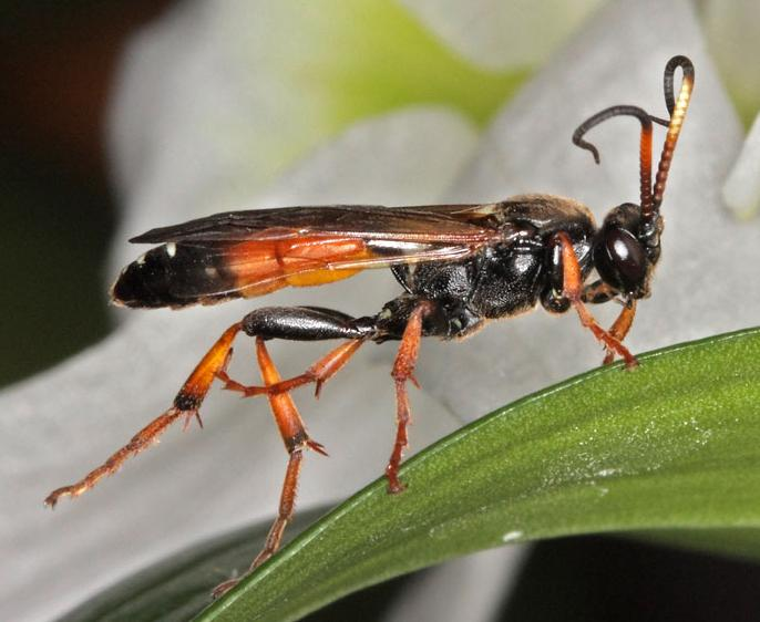 Spilichneumon F occisorius (F., 1793) 02 D.Michalczyk photo,J.Valemberg dt