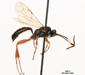 Aoplus F ochropis (GMELIN, 1790) 01 M.Fiala photo, C.Thirion dt