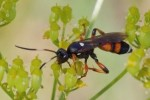 Ichneumon F sarcitorius L.,1758                       U.Rindlisbacher photo, C.Thirion dt