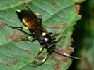Ichneumon F stramentor RASNITSYN,1981                       J.Peters photo, C.Thirion dt