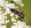 Virgichneumon F monostagon (GRAV.,1820) bis Ph.Moniotte photo, J.Valemberg dt