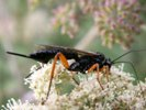 Pimpla F rufipes GRAV.,1829 M. Stumpf photo, P-N Libert dt
