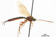 Tromatobia F lineatoria (VILLERS, 1789) 01  M.Fiala photo, P.N. Libert dt